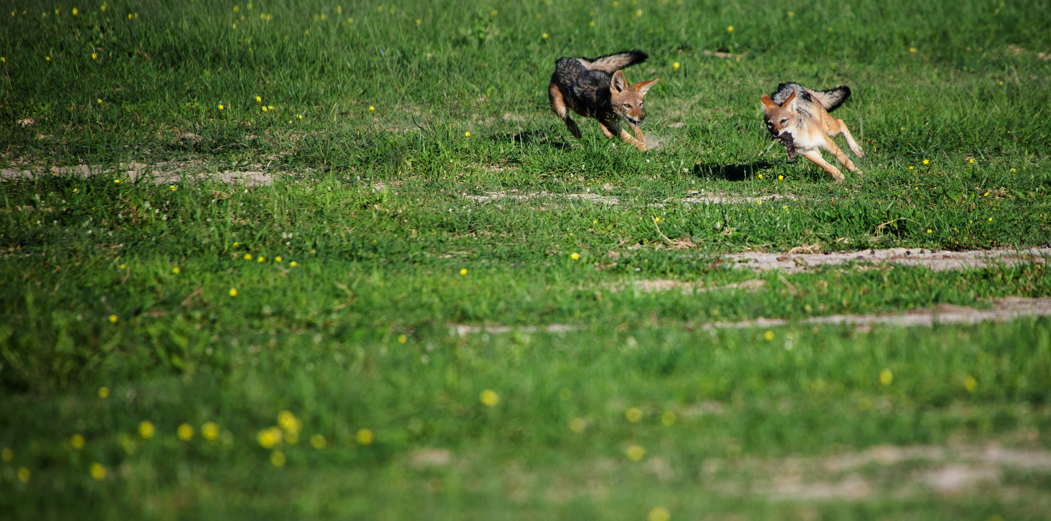 CM Travels: Jackal Chase | Wildlife Photography