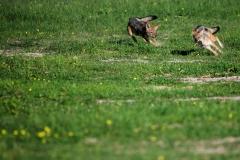 CM Travels: Jackal Chase   Wildlife Photography