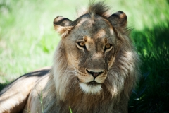 CM Travels: Botswana | Lion | Wildlife Photography