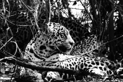 CM Travels: Jaguar and Cubs | Wildlife Photography