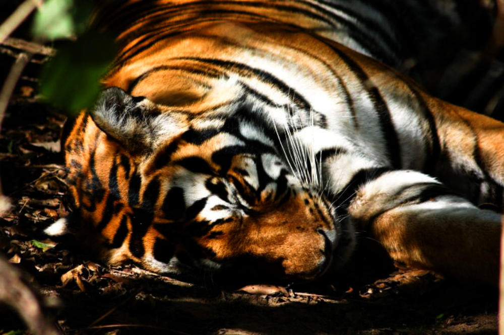 Best-Tiger-Safari-CM-Reisen-Tiger-Indien-Wildlife-Fotografie-Natur