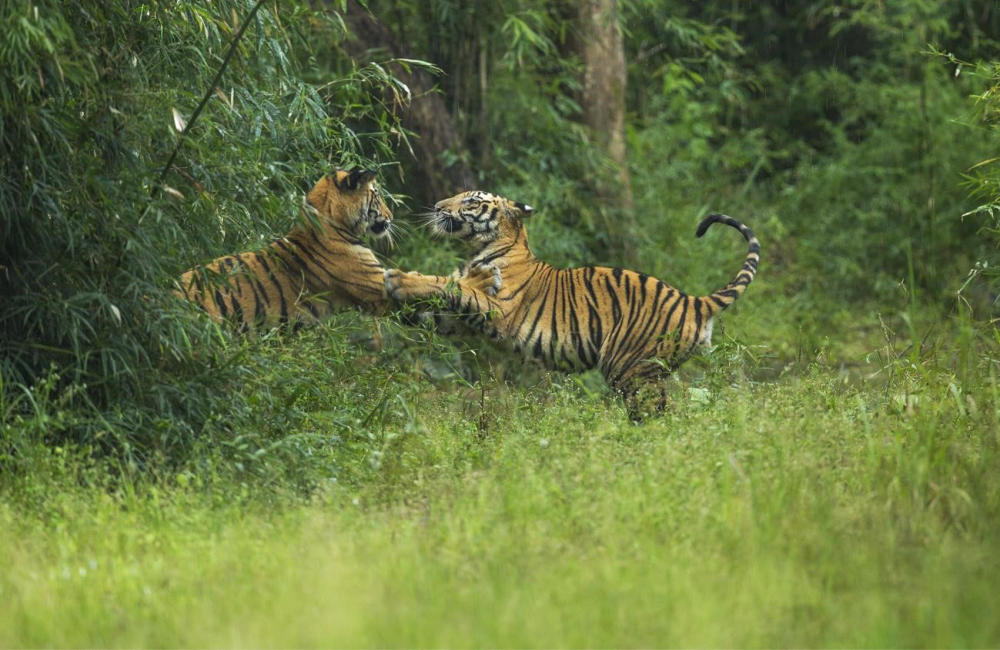Best Tiger Safari | CM Travels | Tiger | India | Wildlife Photography | Nature |
