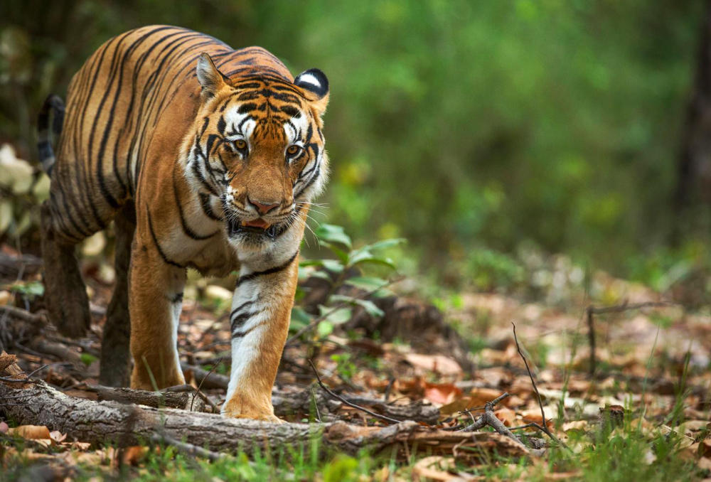 CM Travels: Tiger | Safari | India | Wildlife | Nature
