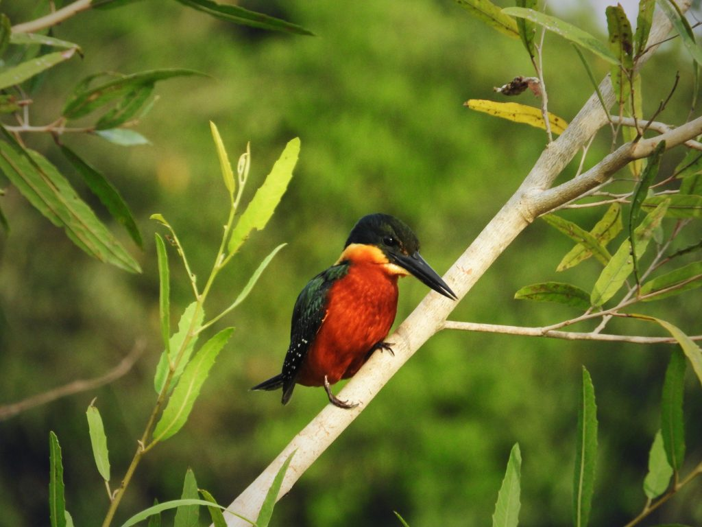CM Travels: Photographic Safari | Brazil | Kingfisher