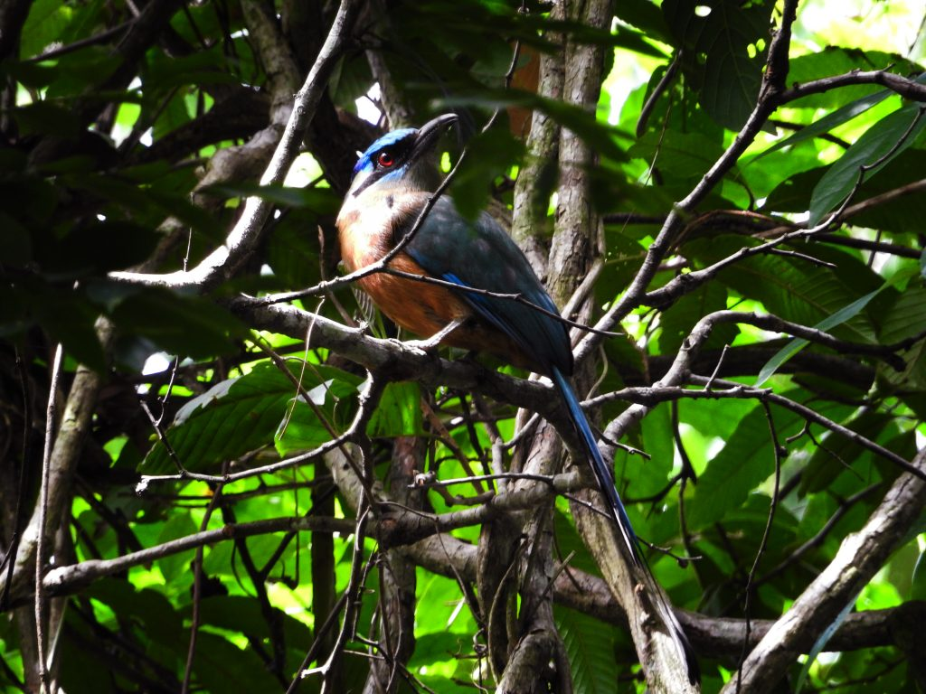 CM Travels: Photographic Safari | Brazil | MotMot