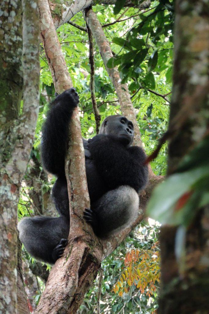 CM Travels: Travel Deeper | Odzala | Gorilla