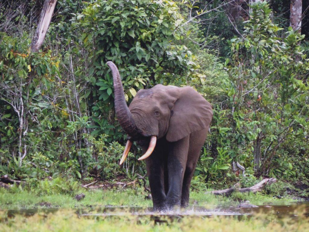 CM Travels: Forest Elephant | Odzala Kokoua National Park | Discovery Camps