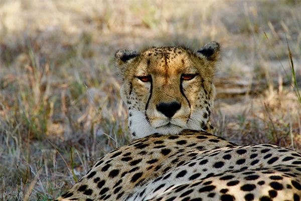 CM Travels: Big Cats | Safari | Cheetah | Africa | Photo Safari