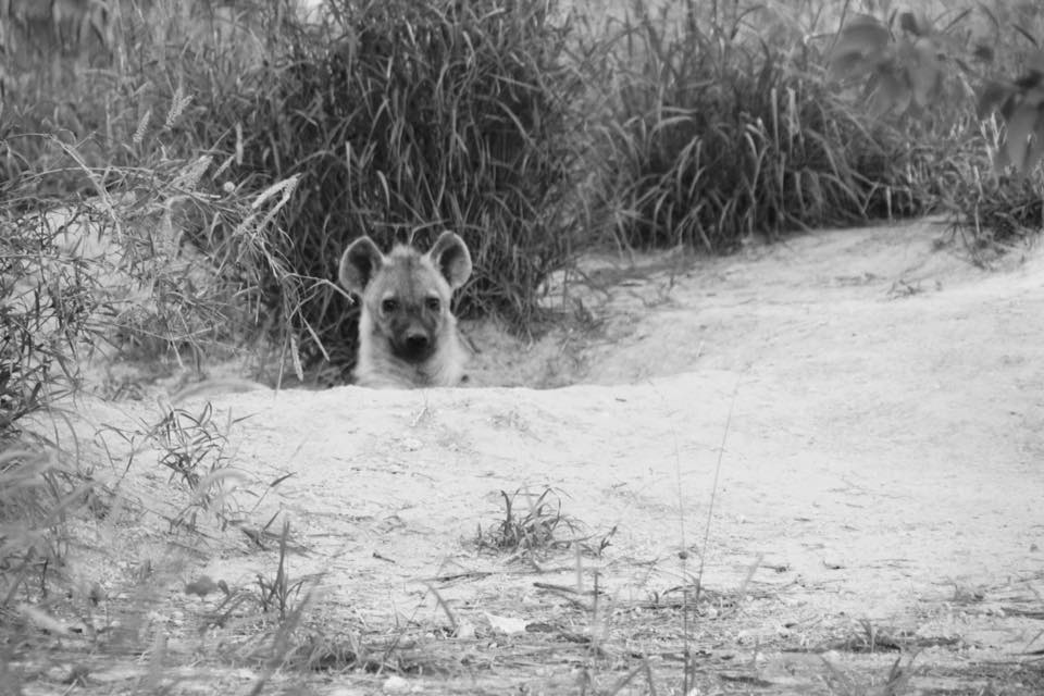 CM Travels: Botswana | Okavango Delta | Savuti | Safari | Hyena | Africa | Photo Safari