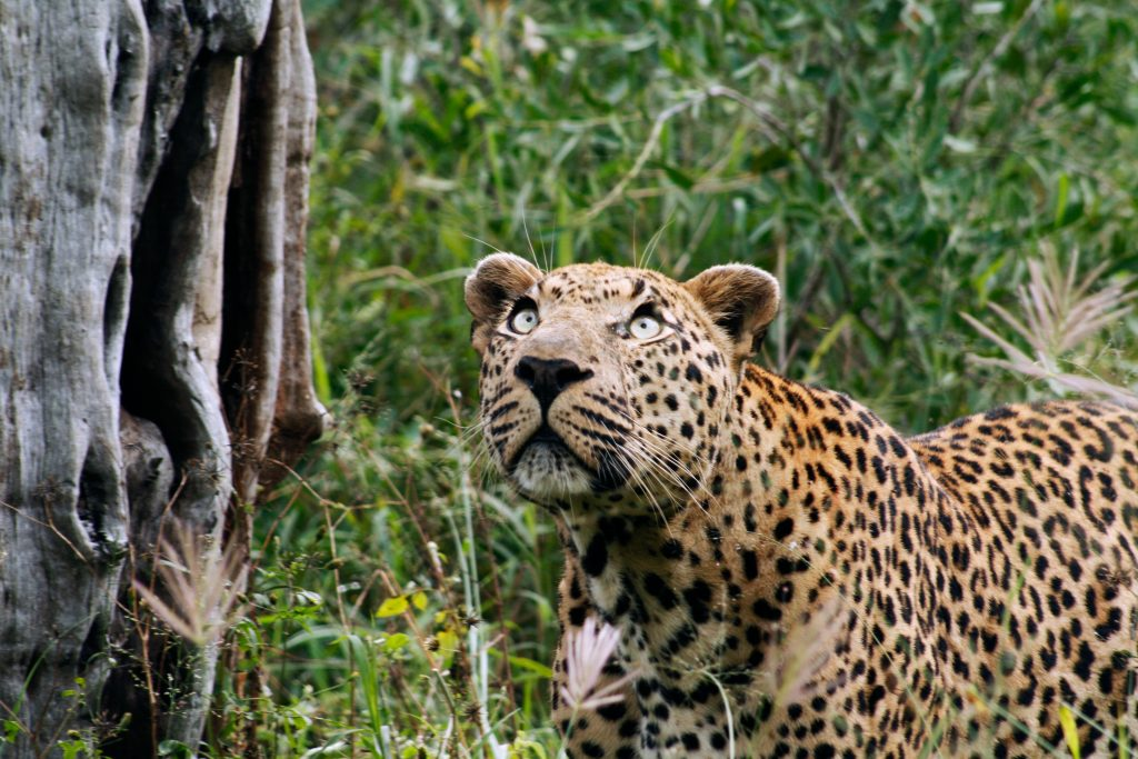 CM Travels: Safari | Leopard | Africa | Photo Safari