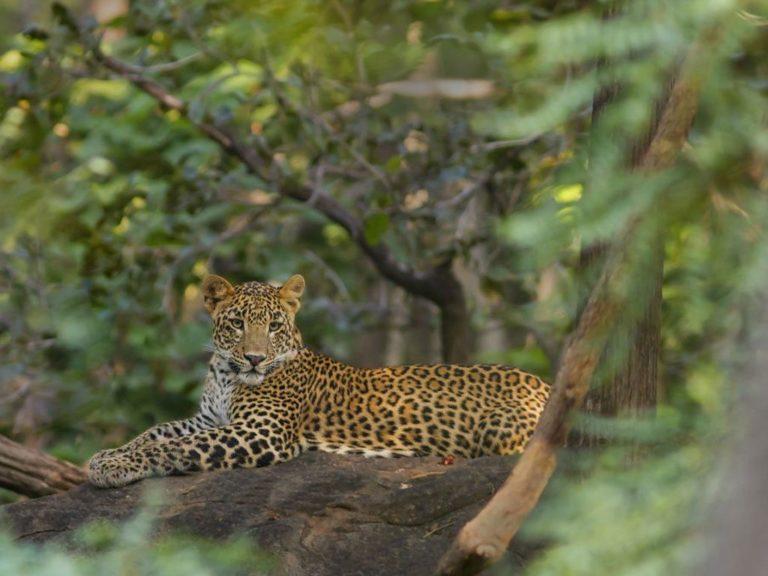 Safari-Leopard-Big 5-CM Reise-Indien