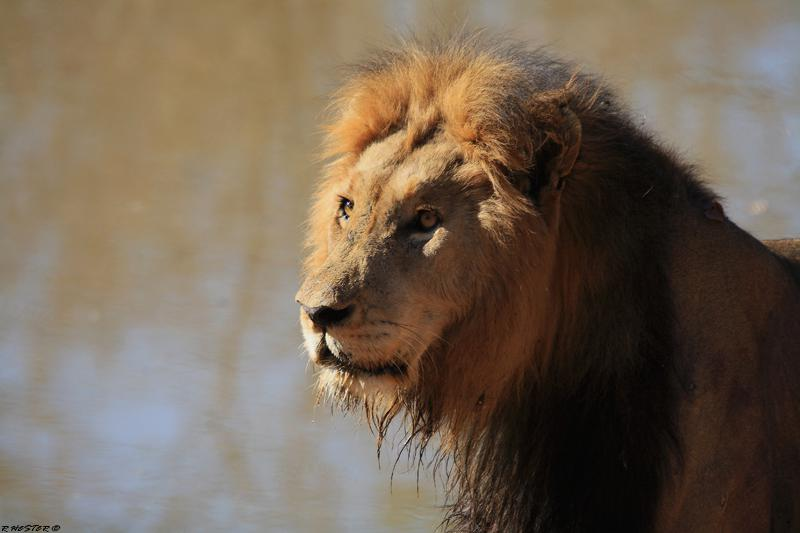 Safari-Lion-bubezi-side-profile-Big 5-CM Travels
