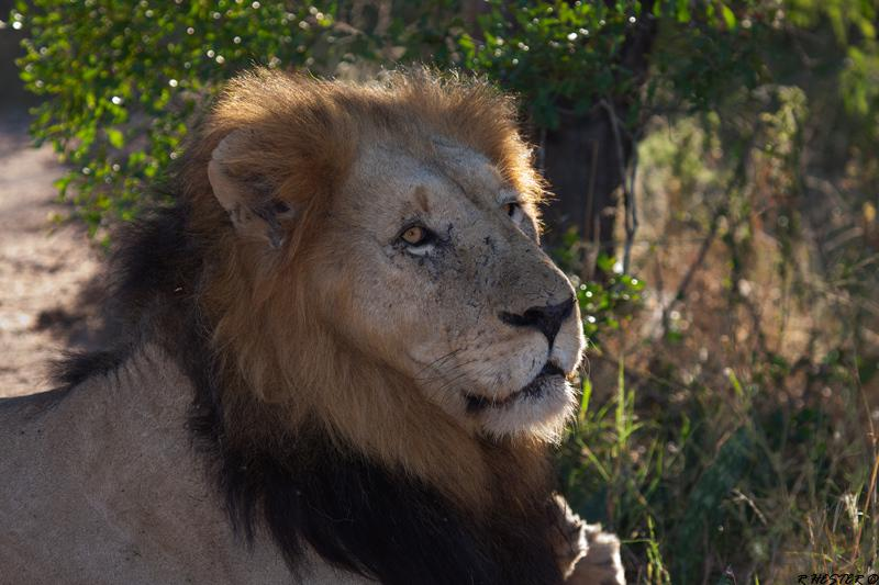 CM Travels: The Best of The Sabi Sands | Male Lion | Wildlife photography | Safari