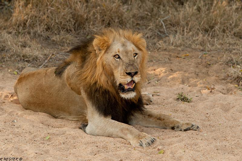 Löwen-Männchen-Safari-Südafrika-Porträt-big-5-sabi-sabi-sabi-kruger-nationalpark
