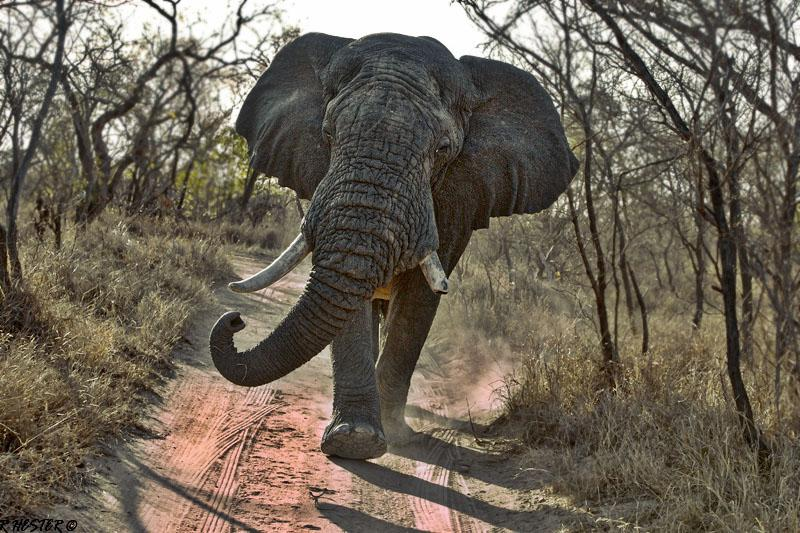 CM Travels: Best of The Sabi Sands | Robin Hester | Bull Elephant | Nature | Wildlife Photography | Safari