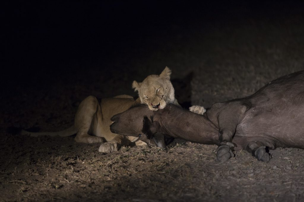 CM Travels: Best of The Sabi Sands | Wildlife | Nature | Lion Kill