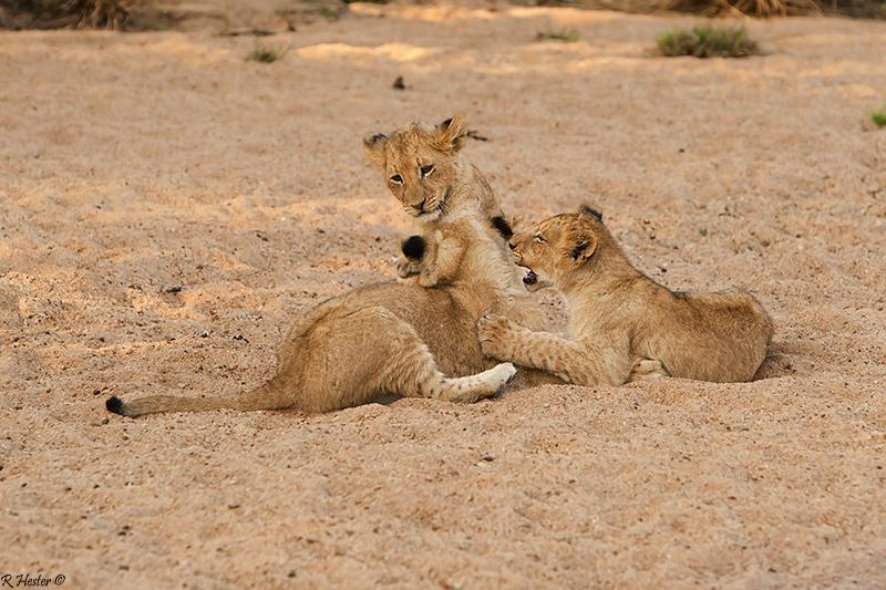 löwenjungen-sabi-sabi-sabi-kruger-nationalpark-südafrika-best-safari