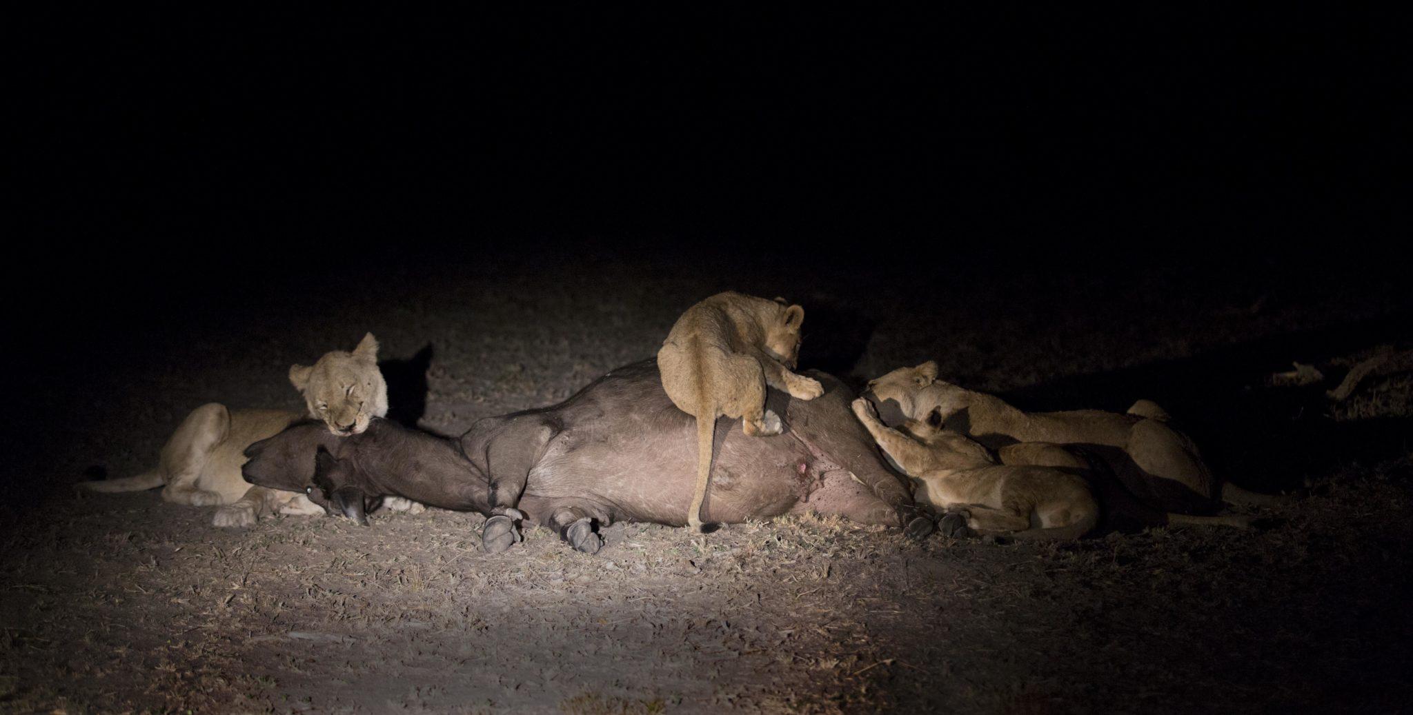 löwenjungen-sabi-sabi-sabi-kruger-nationalpark-südafrika-best-safari-büffel-kill