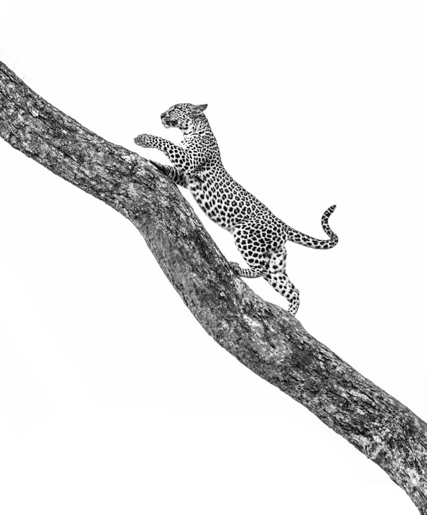 CM Travels: Paul Danckwerts | Young Leopard | Black & White | Wildlife | Wildlife Photography