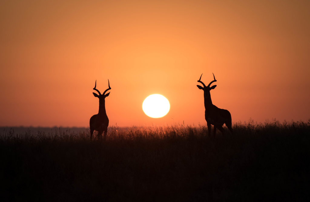 impala-sunset-africa-safari-nature-wildlifephotoraphy
