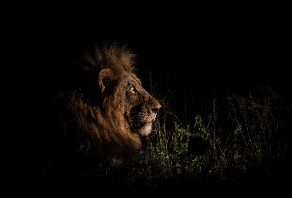 CM Travels: Paul Danckwerts | Male Lion | Wildlife | Wildlife Photography