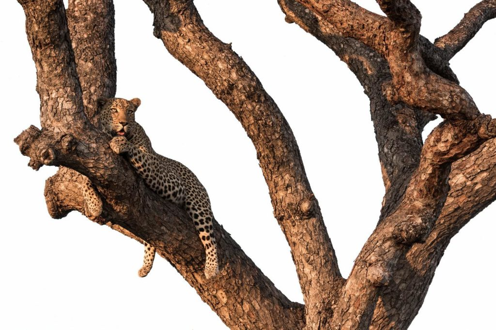 CM Travels: Leopard in Tree | Safari | Nature | Wildlife | Wildlife Photography