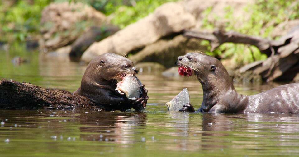 Riesen-Flussotter-Brasilien