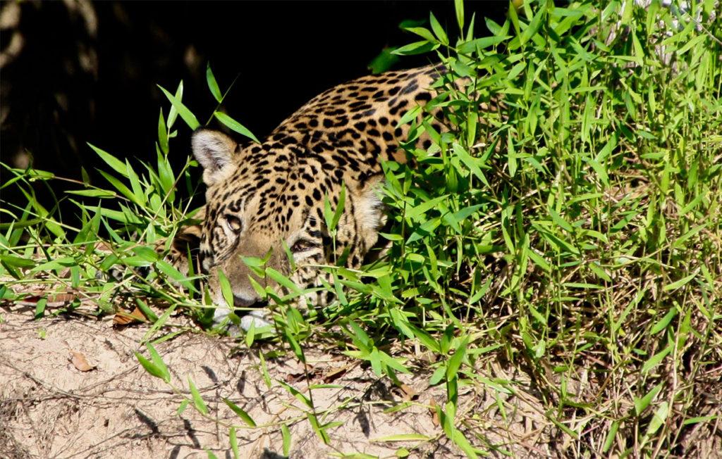 CM Travels | Jaguar | Brazil | Wildlife | Nature | Travel
