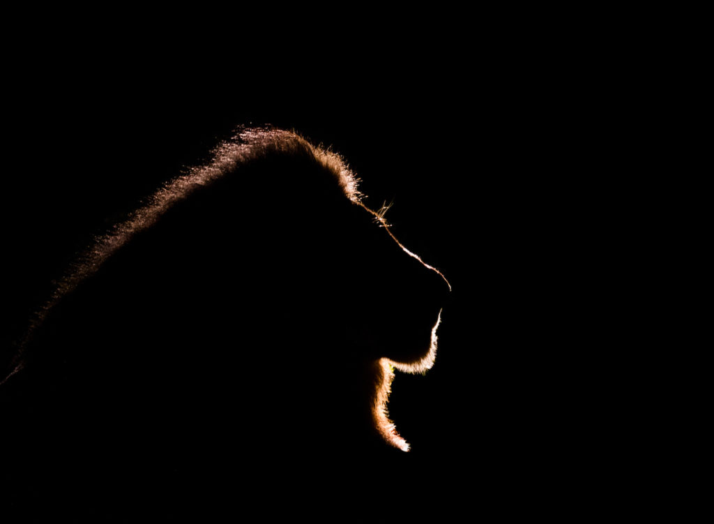 CM Travels | Wildlife | Lion | Africa | Safari | Callum Gowar | Back Lighting | Fine Art Photography |
