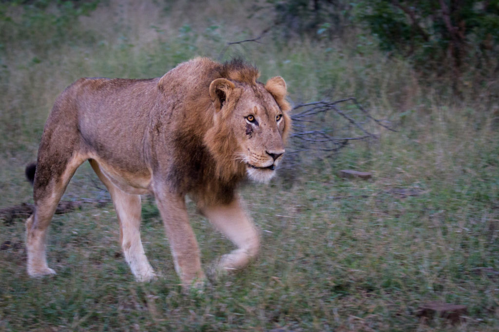CM Travels | Wildlife | Lion | Africa | Safari | Callum Gowar