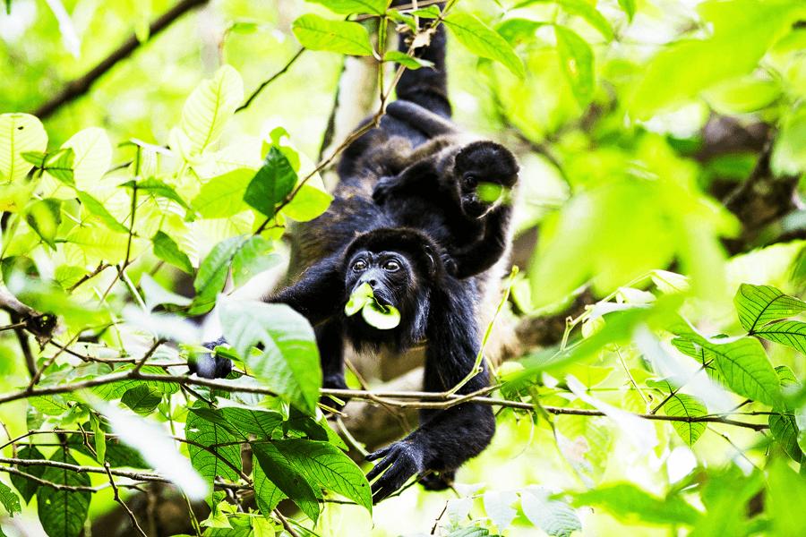 Brüllaffen-Affe-Baby-Baum-costa-rica-Reisen-Natur-Wildtiere