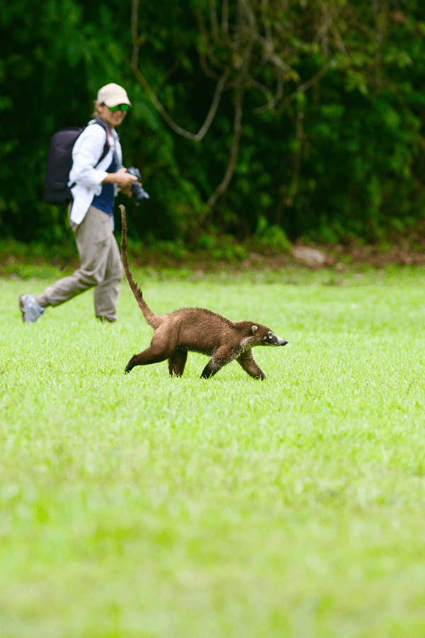 ecuador-costa-rica-nature-wildlife-coati