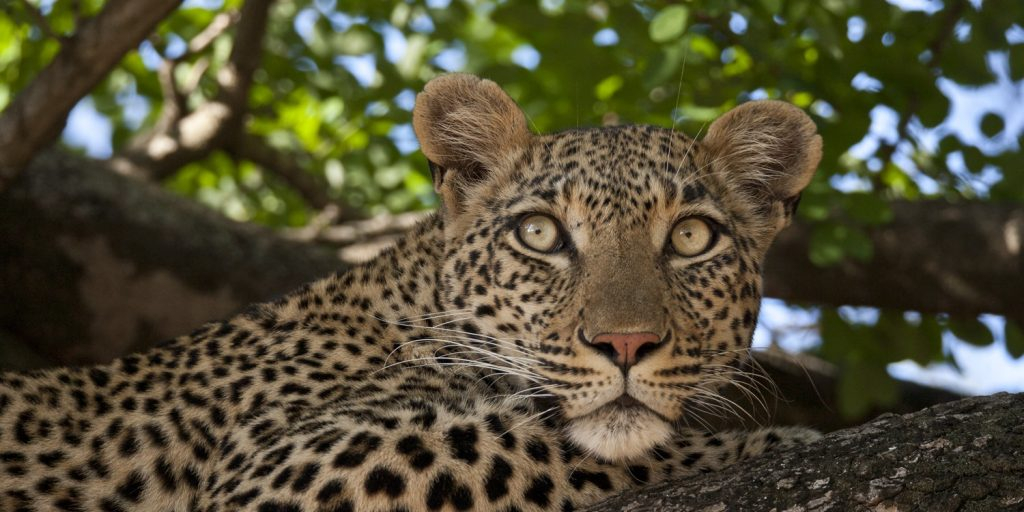 CM Travels | Umlani Bush Camp | Leopard