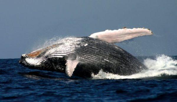 Südafrika Safari – Walbeobachtung in Hermanus