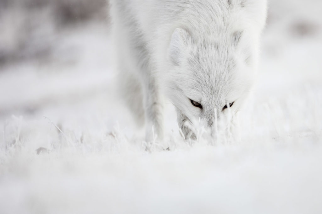 CM Travels | Canada | Arctic_fox_RJ_SAUER_polar-16