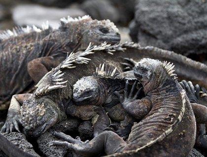 CM Travels | Marine Iguana