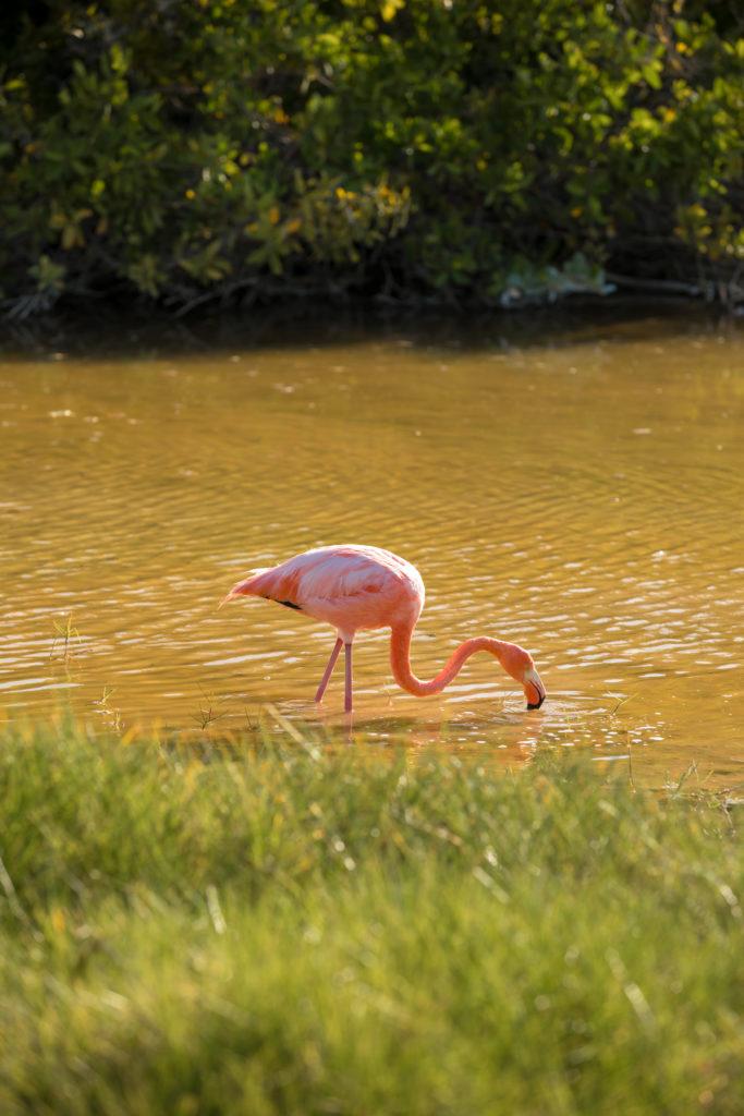 CM Travels | Galapagos | Flamingos - Isabela Island