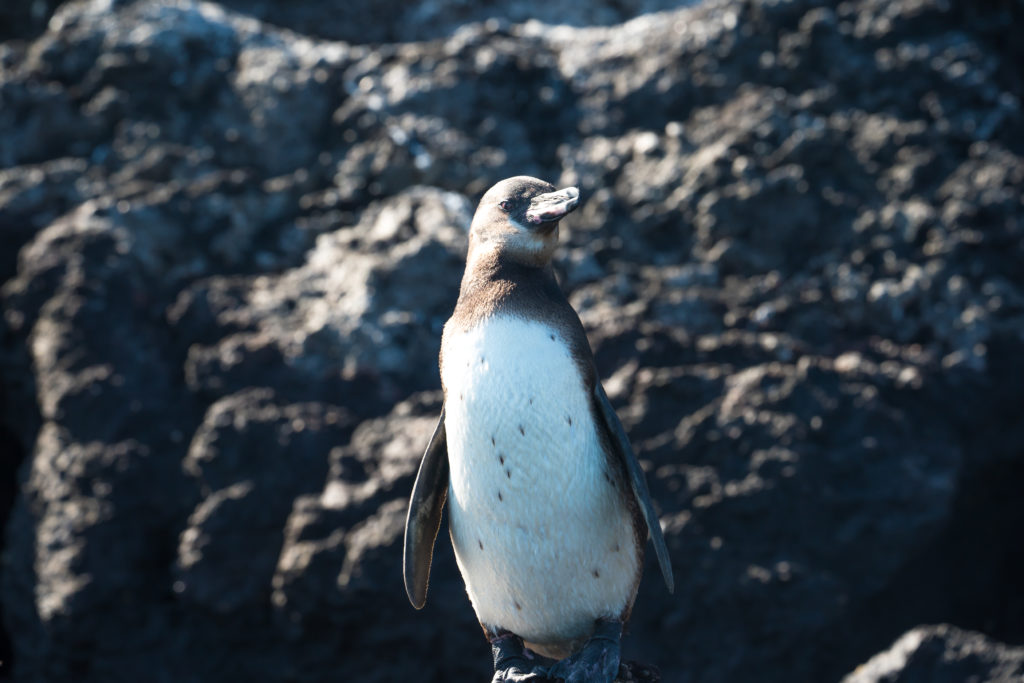 CM Travels | Galapagos Penguin