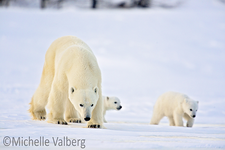 CM Travels | Canada | Mother and Cubs 4314w by Michelle Valberg