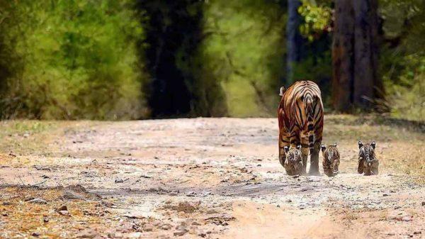 Indiensafari – Tiger im Ranthambhore-Park