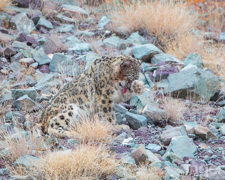 CM Travels | Snow Leopard 4 | Earth Touch News Image