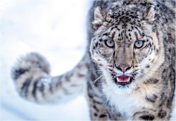 Indiensafari – Schneeleopard