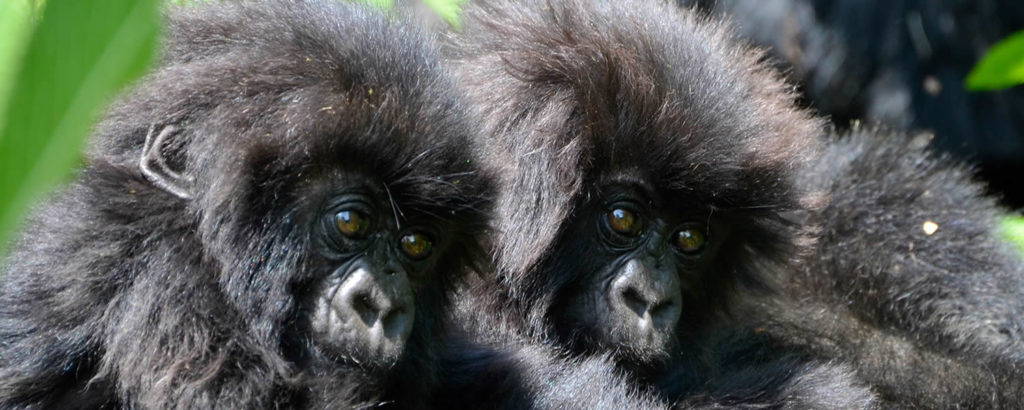 CM Travels | Uganda | Gorilla Trekking | Two gorilla babies