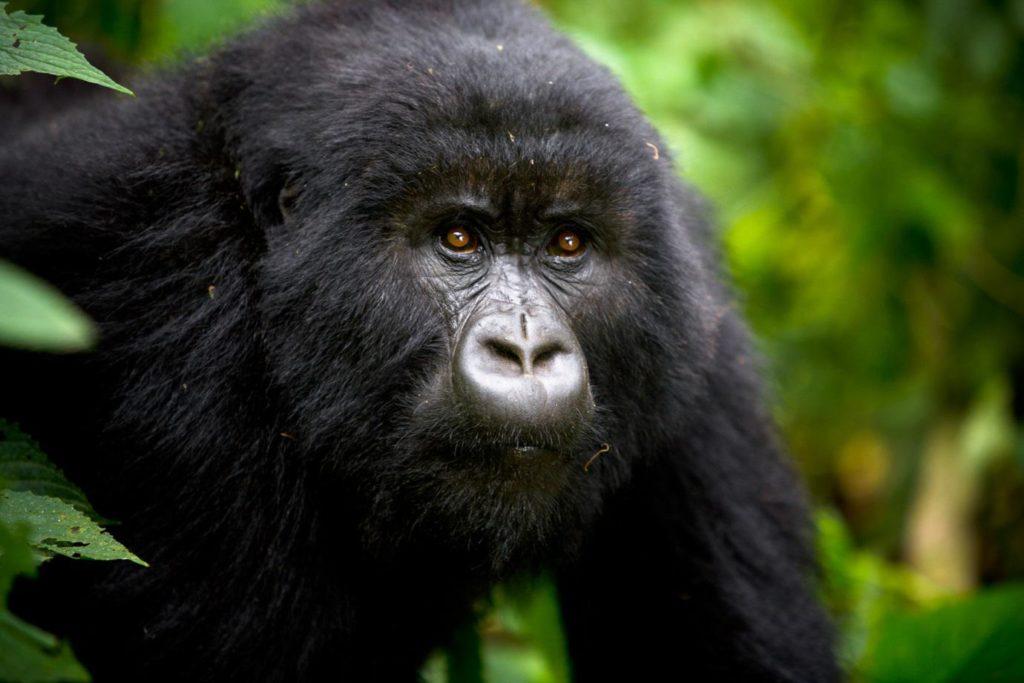 Uganda-safari-Gorilla-Image
