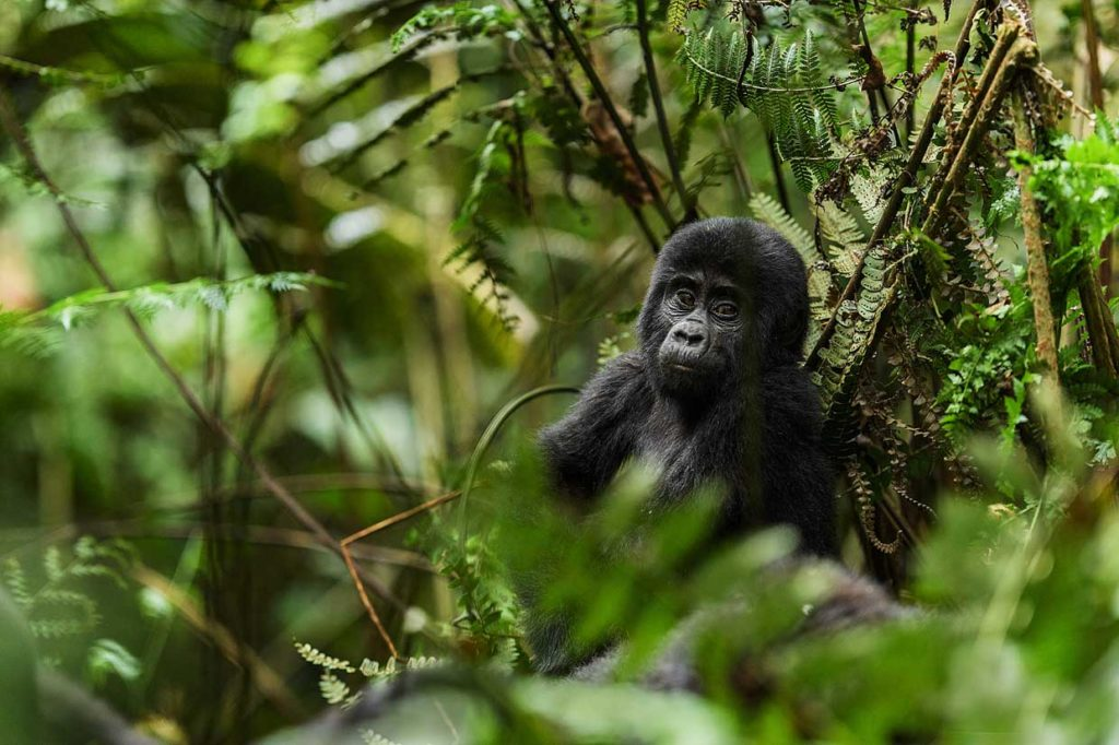 CM Travels | Uganda | Young Gorilla