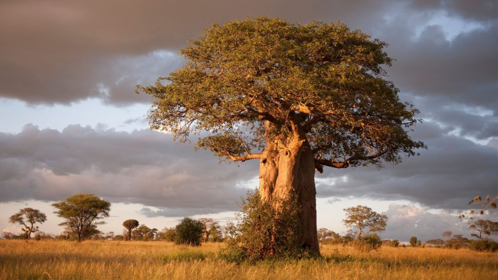 CM Travels | East Africa | Tarangire National Park | boabab-tarangire-national-park