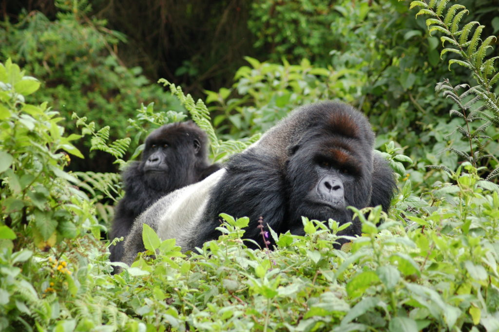 CM Travels | Uganda | gorilla silver back | Annie Graham
