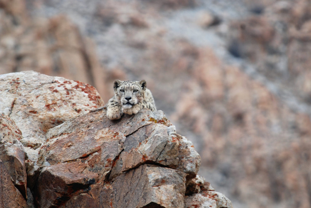 CM Travels | Snow Leopard 1 | India |