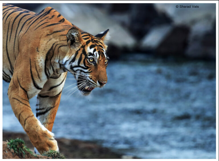 CM Travels | Tiger | Ranthambore