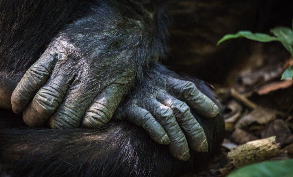 CM-Travels-Greystoke-Mahale-Camp-Chimp